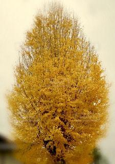 イチョウの木の写真・画像素材[1644547]
