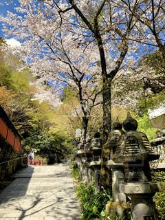 石灯籠と桜の写真・画像素材[1983772]
