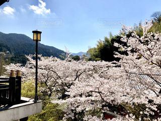 上から見る桜の写真・画像素材[1994758]
