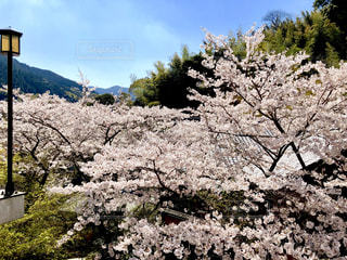 花の高さから見た桜の写真・画像素材[1994856]