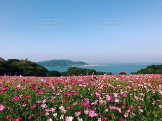 自然,海,花,秋,花畑,屋外,ピンク,コスモス,カラフル,晴天,島,旅行,福岡,能古島