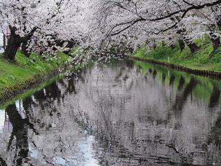 弘前城の桜の写真・画像素材[1423120]