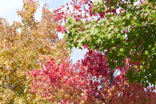 三色紅葉の写真・画像素材[1538146]