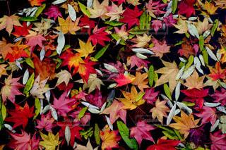 錦秋の絨毯の写真・画像素材[1538181]