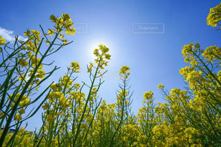 菜の花畑の写真・画像素材[3343419]