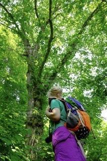 白神山地のマザーツリーの写真・画像素材[3576064]