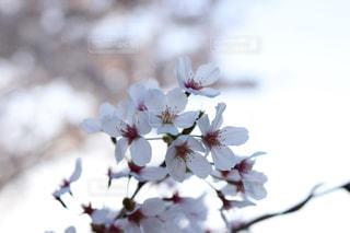 桜,ピンク,桜色,pink