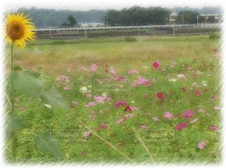 コスモス,コスモス畑,ヒマワリ,夏と秋