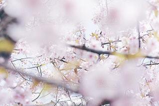 花,春,桜,ピンク,季節,pink,さくら