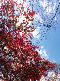 紅葉,屋外,青空,樹木,景観