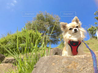 犬,自然,空,秋,チワワ,芝生,ペット,わんこ,愛犬,秋空