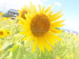 近くに黄色い花のアップの写真・画像素材[1457255]