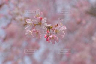 花,桜,ピンク,植物,綺麗