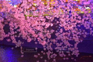 花,桜,ピンク,綺麗,夜桜