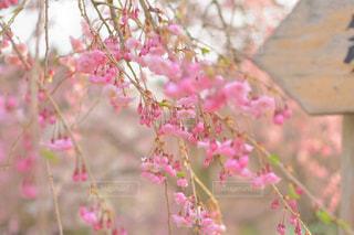 花,桜,ピンク,pink
