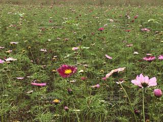 コスモス畑。の写真・画像素材[1457002]
