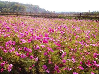 大きな紫色の花は、フィールドの真ん中に立っています。の写真・画像素材[1461082]