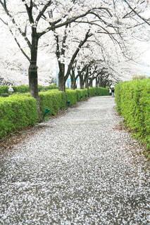 桜散る散歩道。の写真・画像素材[1465944]