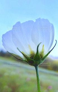 秋桜一輪。の写真・画像素材[1466816]