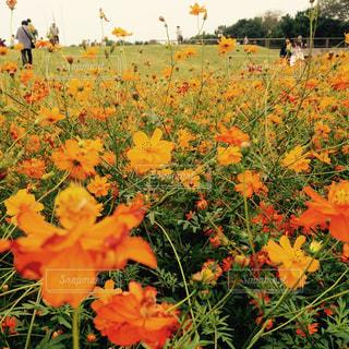 花,花畑,コスモス,鮮やか,オレンジ,秋桜,ひたち海浜公園