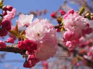 花,桜,ピンク,景色