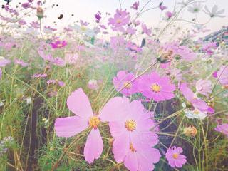 自然,風景,花,ピンク,コスモス,景色,可愛い,秋桜