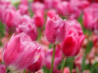 公園,花,お花畑,東京,ピンク,癒し,flower,昭和記念公園,ピンク色,pink,ピンクだらけ