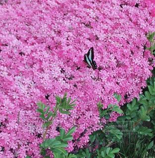 ピンク,芝桜,蝶,pink,黒蝶