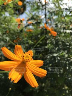 秋,コスモス,オレンジ,秋桜
