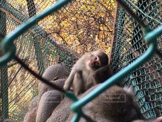 自然,猿,動物,紅葉,栃木県