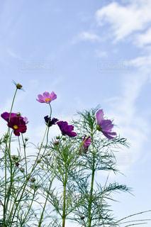 空,花,コスモス,鮮やか,秋晴れ,秋の花,秋空,秋風,巾着田