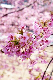 花,春,桜,花びら,ピンク色,河津桜