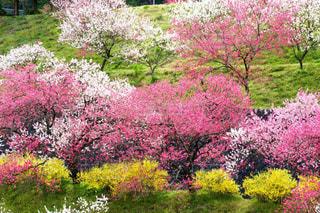 花,緑,白,黄色,花びら,長野県,ピンク色,桃色,花桃,阿智村,花桃の里