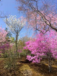 空,花,桜,木,庭,緑,白,青空,枝,樹木,庭園,ピンク色,桃色