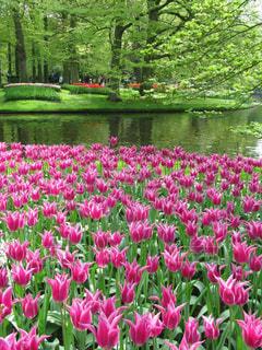 キューケンホフ公園の新緑と水辺のチューリップの写真・画像素材[1489728]