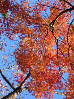 空,秋,紅葉,屋外,京都,綺麗,青空,景色,樹木,赤色,色鮮やか,フォトジェニック