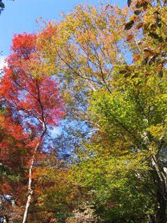 空,秋,紅葉,屋外,京都,カラフル,青空,黄色,景色,樹木,赤色,色鮮やか