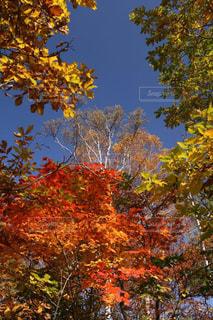 空,秋,紅葉,屋外,カラフル,綺麗,青空,黄色,景色,樹木,赤色,緑色,志賀高原,色鮮やか,フォトジェニック