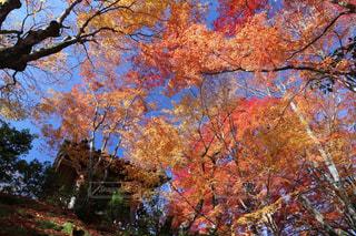 空,秋,紅葉,京都,青空,黄色,景色,樹木,赤色