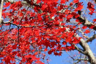 空,秋,紅葉,京都,綺麗,青空,景色,樹木,赤色,色鮮やか,フォトジェニック