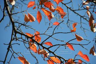 空,秋,紅葉,青空,景色,樹木,赤色