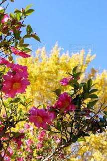 空,花,秋,紅葉,ピンク,綺麗,青空,黄色,景色,椿,樹木,愛知県,フォトジェニック