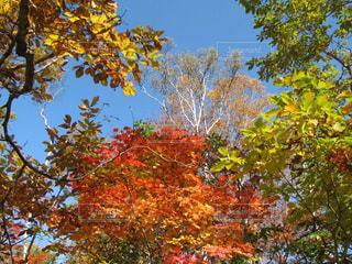 空,秋,屋外,カラフル,青空,黄色,景色,樹木,赤色,緑色,志賀高原