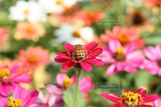 お花畑の花びらに止まっているハチの風景の写真・画像素材[1560290]