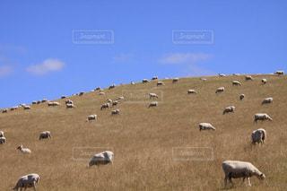 青空と草原のひつじ達の写真・画像素材[1587389]