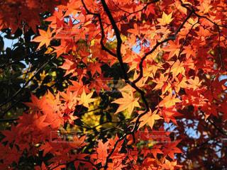 永源寺の鮮やかな紅葉の写真・画像素材[1604259]