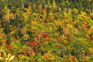 立山弥陀ヶ原の鮮やかな紅葉の写真・画像素材[1604313]