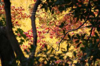 室生寺の鮮やかな美しい紅葉の写真・画像素材[1604397]