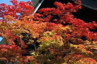 神護寺の鮮やかな紅葉の写真・画像素材[1605258]