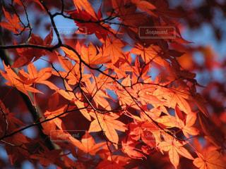 永源寺の美しい紅葉の写真・画像素材[1605292]